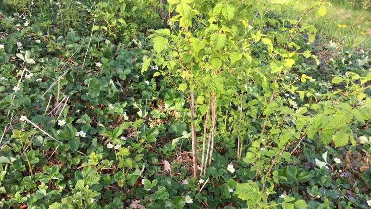 Raspberry bush and strawberry ground cover