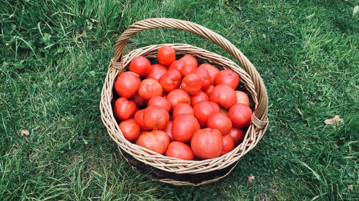 Willow basket full of red tomatoes