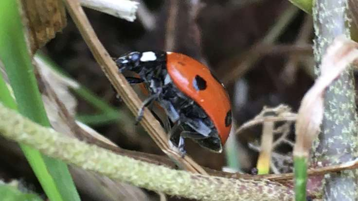 Ladybird climbing up stem