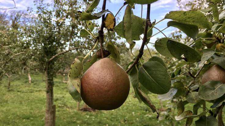 Pear hanging on branch