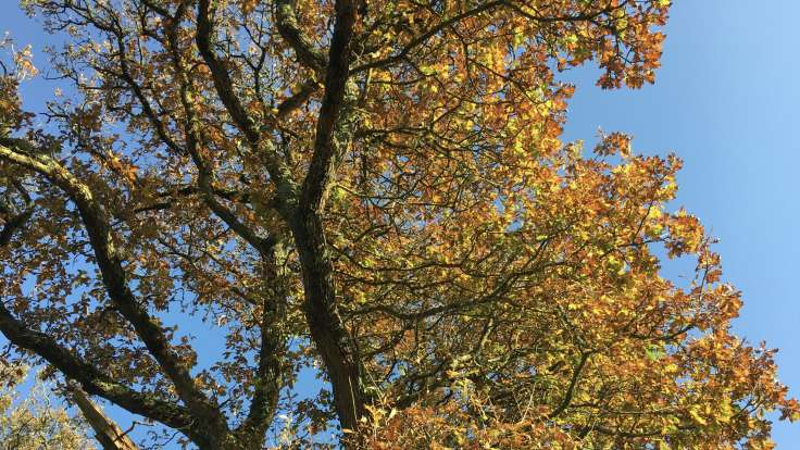 Autumnal oak tree branches against blue sky
