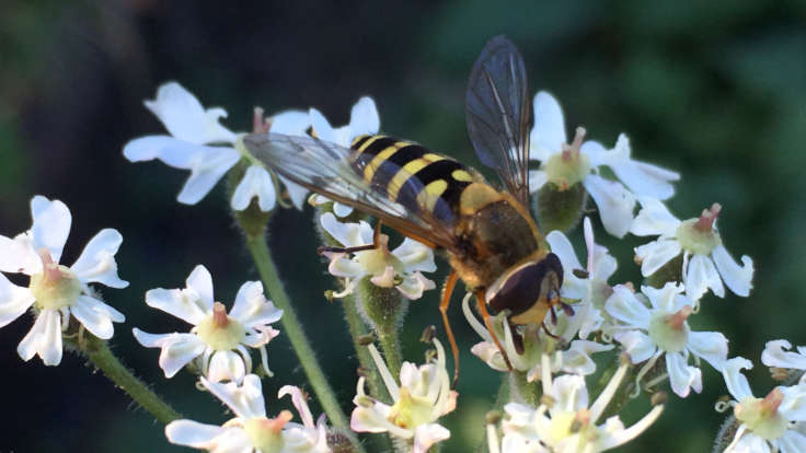 Hoverfly on small white flowers