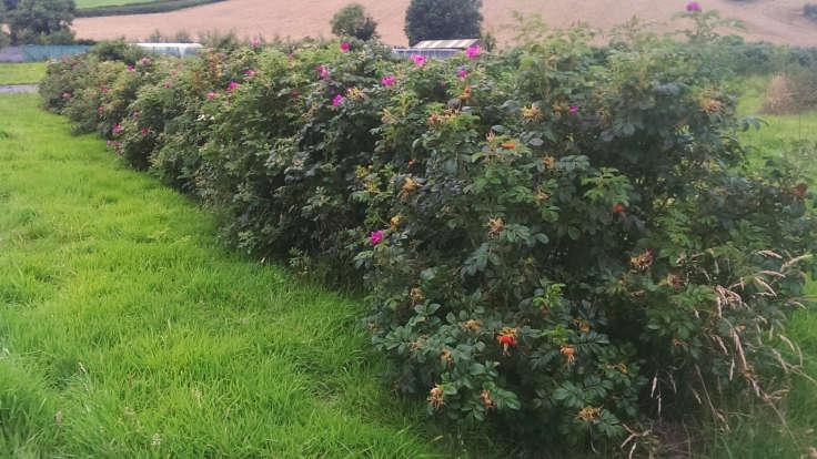 Japanese Rose hedgerow