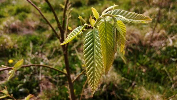Young, pointed & serrated tree leaves