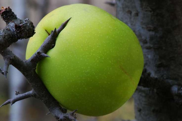 Green quince