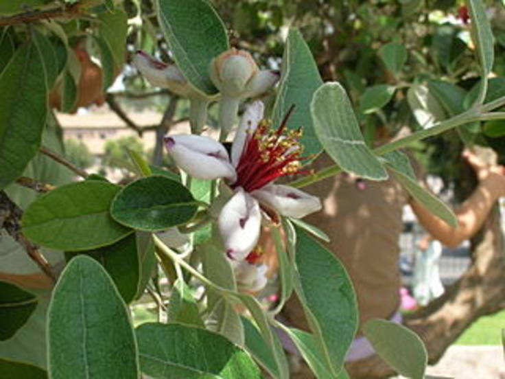 Close up white exotic flower, green oval leaves on tree