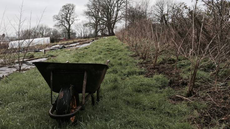 Wheelbarrow in foreground by long hedge receding to oak tree