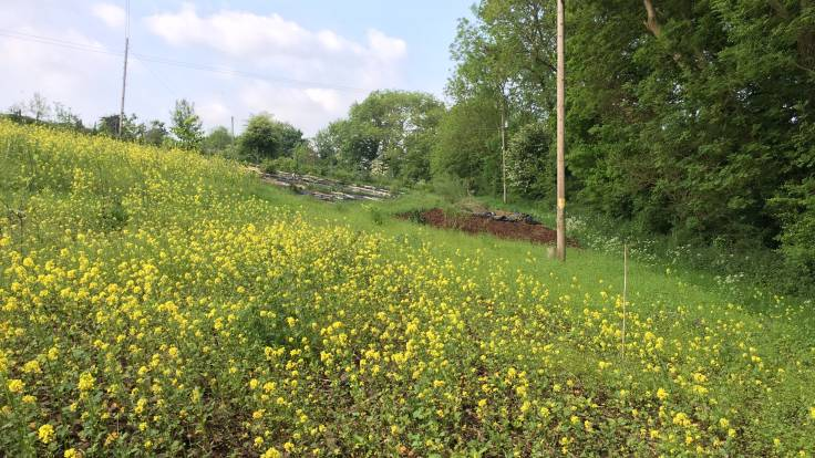 Photo of yellow mustard flowers in foreground with tree lined hedge and bark mulch in distance