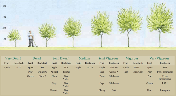 Illustration comparing different rootstock heights in relation to person