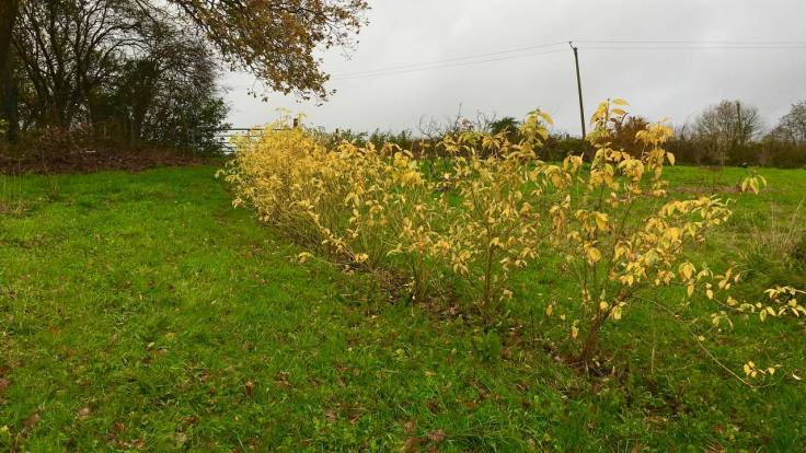 Young yellow hedge
