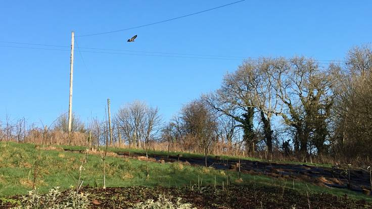 Buzzard flying off a telegraph pole toward some trees