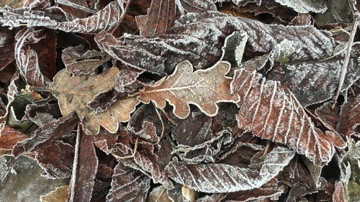 Frosty leaf litter