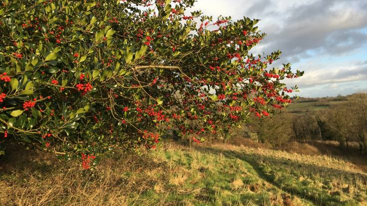 Red holly berries with valley in background