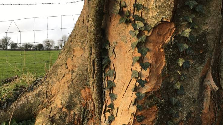 Close up of ivy on sycamore tree with fence and field in background