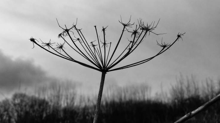 Silhouette photo of old seedhead against sky and hedge