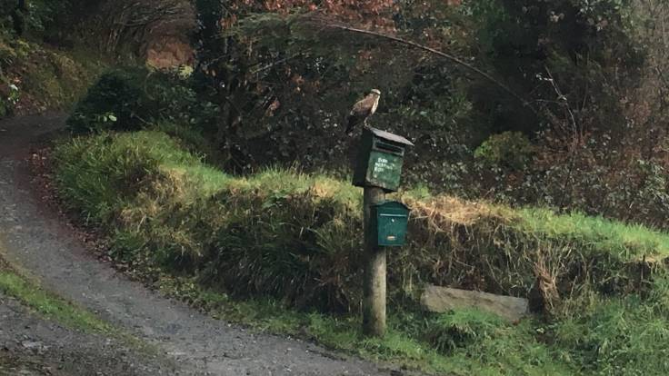 Bird of prey sitting on mailbox on a post in front of a grassy bank and track