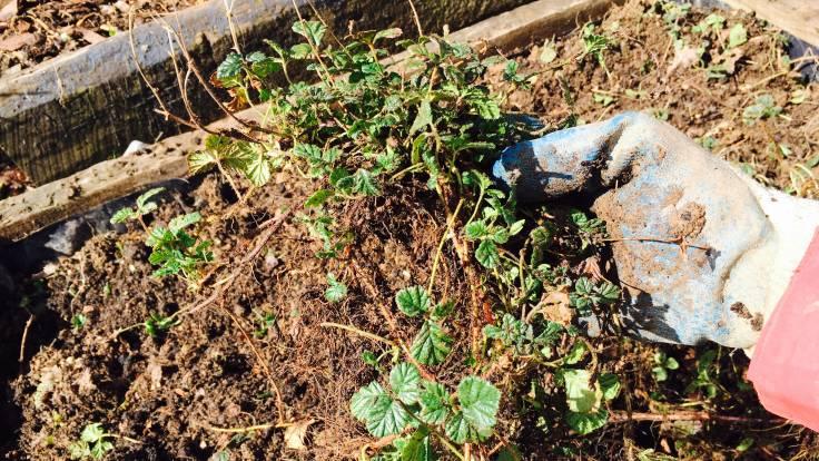 Bundle of Rubus nepalensis plants held in a muddy glove