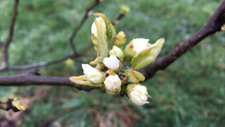 Close up of asian pear blossom on branch