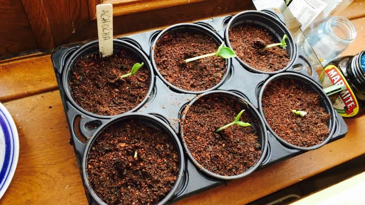 Big seeds germinating on windowsill