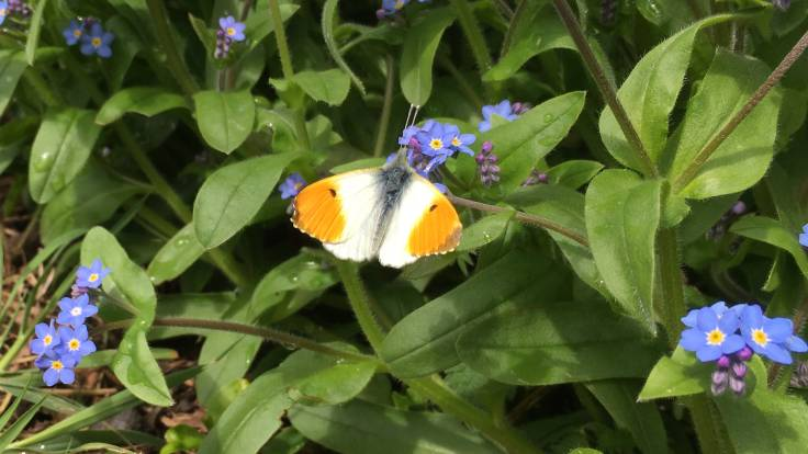 Anthocharis cardamines (orange tip) on Myosotis arvensis (forget-me-not) flowers