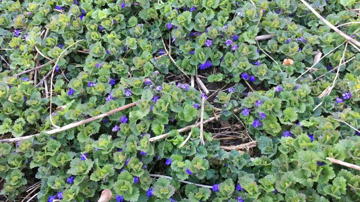 Glechoma hederacea (alefoot) ground cover in flower