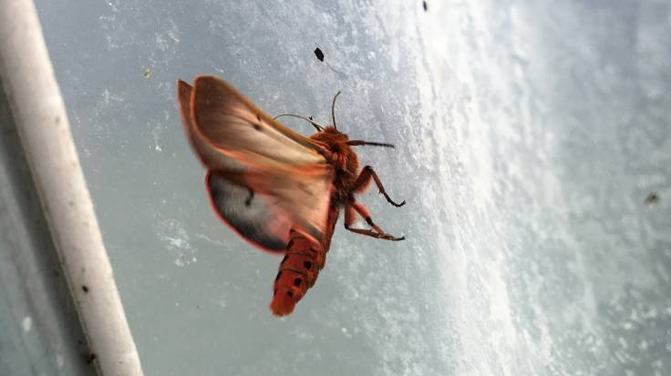 Red moth inside the polytunnel