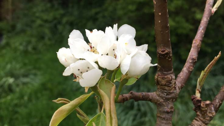 Close up of white pear blossom
