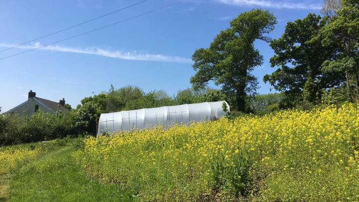Yellow mustard flowers in front of polytunnel and house