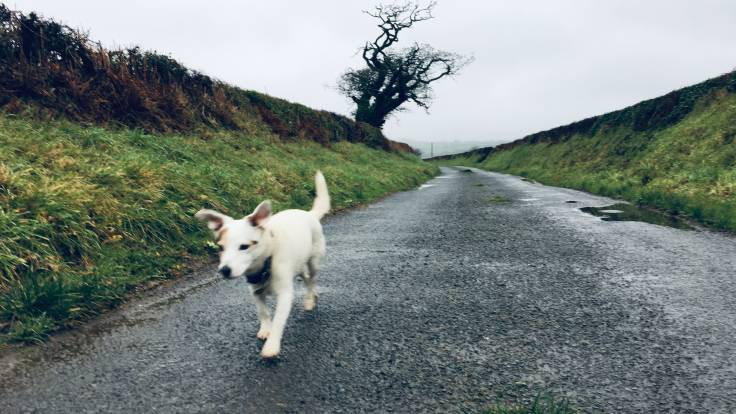 White dog with floppy ears on a country road