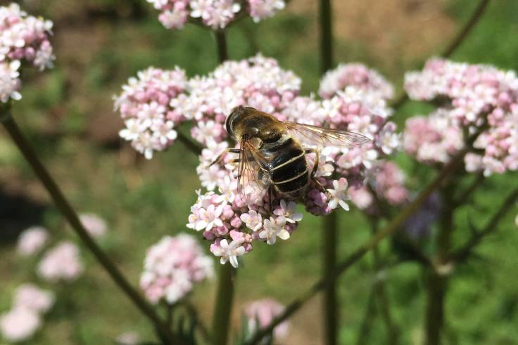 Hover fly on pale pink composite flower