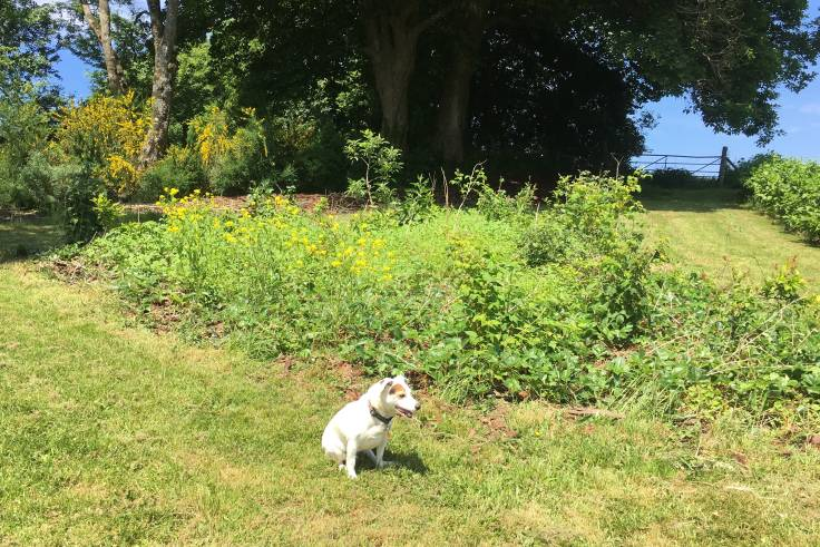 Small, annoying white Jack Russell in front of forest garden fruit bed, mature trees and farm gate in background