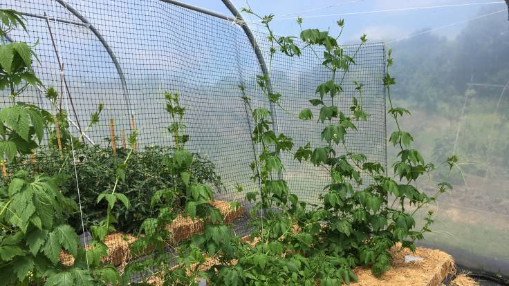 Photo of achocha plants scrambling up netting in polytunnel