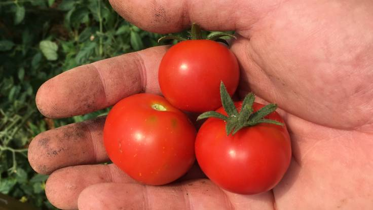 3 tomatoes in a dirty hand