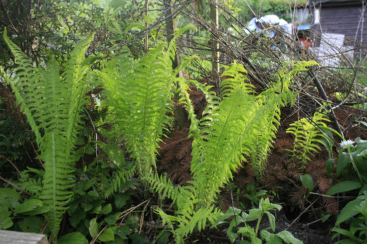 Ferns on a bank, shed in background, copyright Of Plums & Pignuts