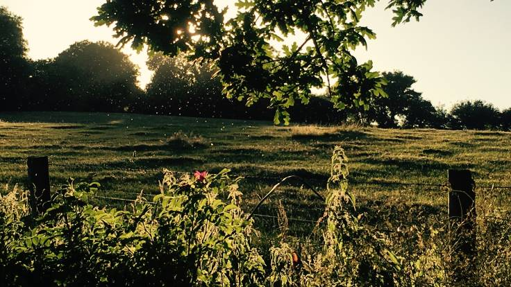 Low summer sun, oak leaves and farm fence in foreground, flies caught in light, field to trees in background