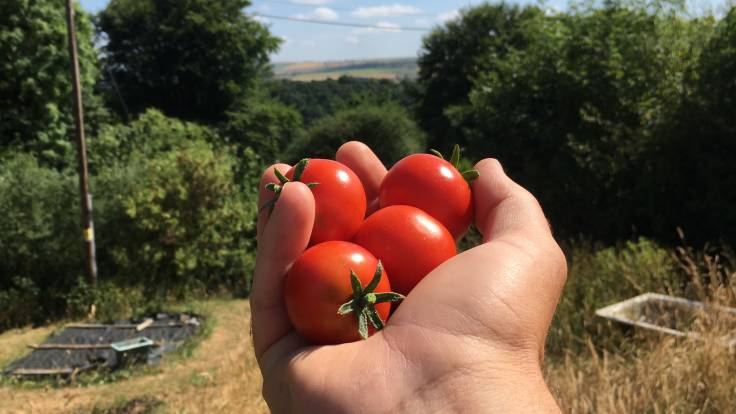 Hand holding 5 tomatoes, rolling hills in background