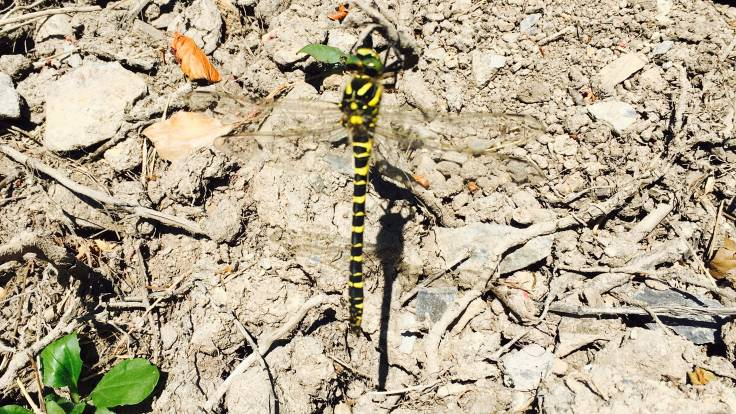 Blurry photo of black and yellow dragonfly with green arms, dry muddy background