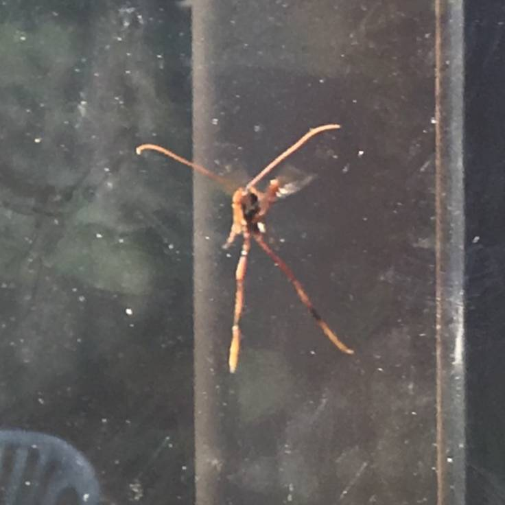 Blurry photo of wasp with 4 long appendages aginst glass of conservatory