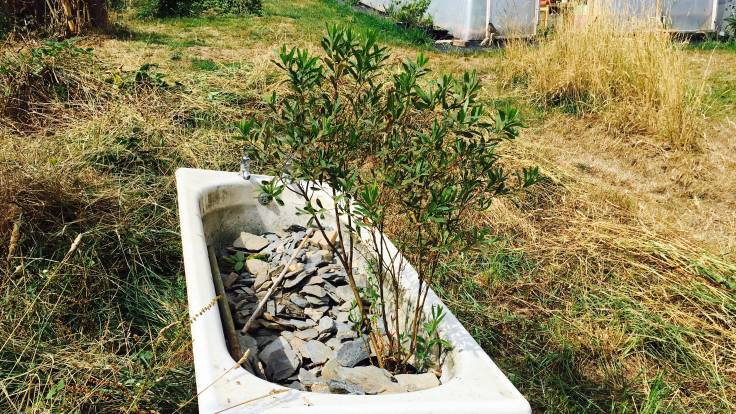 Small shrub in a pot in old iron bath