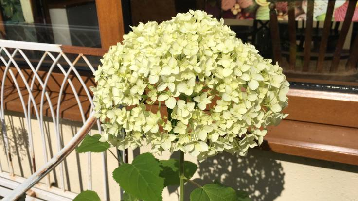 White blousy flower, hydrangea, in front of conservatory