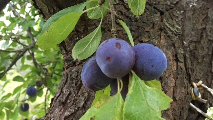 Close up of purple damson fruit, leaves and trunk