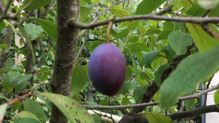Single Victoria plum on the tree