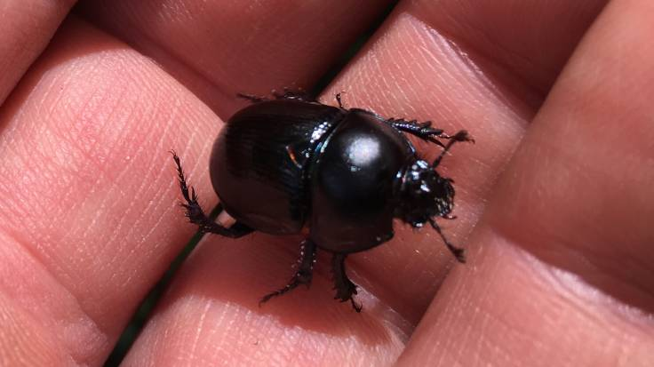 Close-up of dung beetle