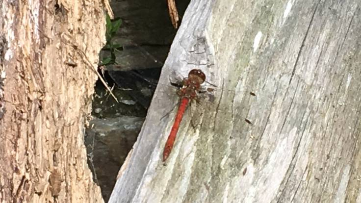 Red-orange dragonfly on old plank