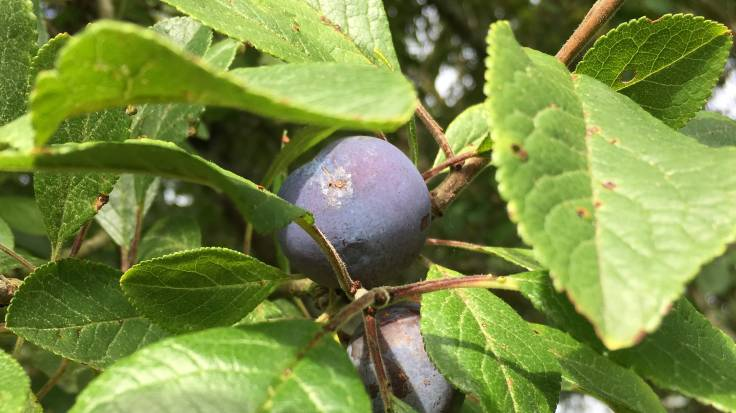 Close up of small blue plum on tree surrounded by leaves