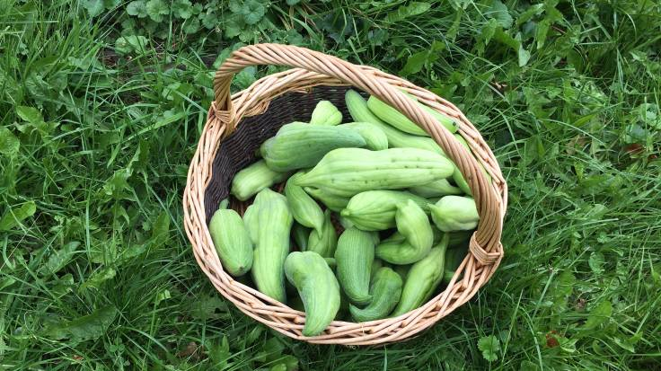 Basket of cucumber-looking fruit