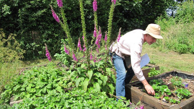 Middle aged man looking at strawberry plants in raised bed, backing on foxgloves