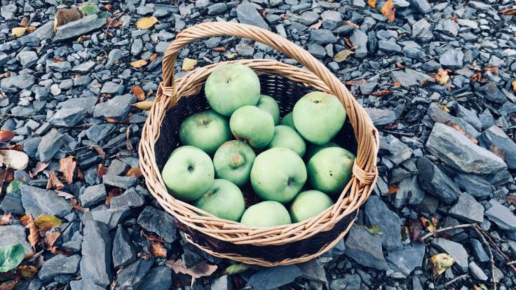 Willow basket full of bramley apples on shale ground
