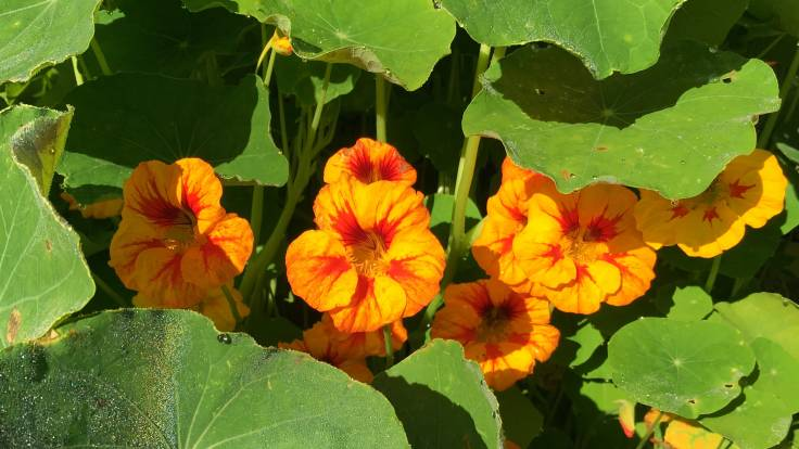 Close up of bright orange and red nasturtium flowers and foliage