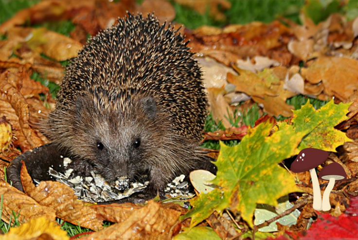 Hedgehog eating food in bowl amongst autumn leaves